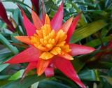 Star Bromeliad by trixxie17, photography->flowers gallery
