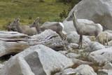Bighorn Surprise by garrettparkinson, Photography->Animals gallery