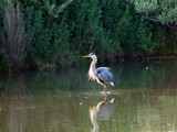 Great Blue Heron's Bad Hair Day by jeffpratt, Photography->Birds gallery