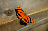 A Tiger for Tigger  by rriesop, photography->butterflies gallery