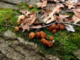 Leaves, Moss and Puffballs by gerryp, Photography->Mushrooms gallery