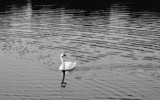 Lone Swan by Tomeast, contests->b/w challenge gallery