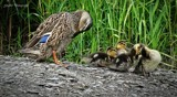 Duck family by GIGIBL, photography->birds gallery
