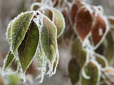 Frosted Leaves by MiLo_Anderson, Photography->Nature gallery
