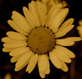Ancient Daisy by thornrelic23, Photography->Flowers gallery