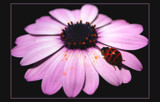 same ladybird, different view by JQ, photography->insects/spiders gallery