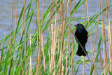 In The Reeds by kidder, Photography->Birds gallery