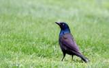 Brewer's Blackbird by tigger3, photography->birds gallery