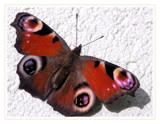 Sunbathing by ekowalska, photography->butterflies gallery