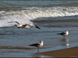 Gulls by dwdharvey, Photography->Birds gallery