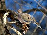Mourning Dove 1 by gerryp, Photography->Birds gallery