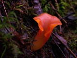 Lava Fungus??? by chrblr, Photography->Mushrooms gallery