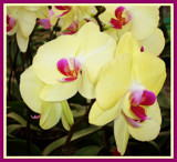 Yellow Phalaenopsis by trixxie17, Photography->Flowers gallery