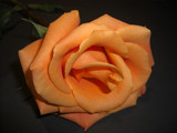 Orange Rose 3 by ccmerino, photography->flowers gallery