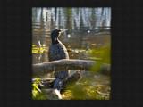 Cormorant by boremachine, Photography->Birds gallery