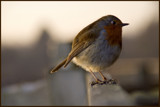 Little Bob by fogz, Photography->Birds gallery