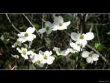 Doggone Dogwood by Hottrockin, Photography->Flowers gallery