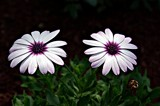 A Pair by Stevenn120, Photography->Flowers gallery