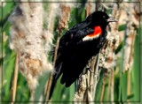 Red Winged Blackbird by trixxie17, photography->birds gallery