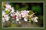 Springtime 11 by corngrowth, Photography->Flowers gallery