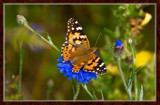 From My Wife's Garden, Lady On Cornflower by corngrowth, Photography->Butterflies gallery