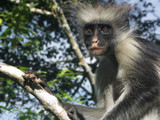 Colobus Monkey by michaeloneill, Photography->Animals gallery