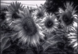 Shimmery Sunflowers by LynEve, photography->manipulation gallery