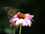 Monarch Migration by rahto, Photography->Butterflies gallery
