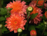 Flamingo Pink by trixxie17, photography->flowers gallery