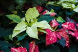 Poinsettia (6) by Pistos, photography->flowers gallery