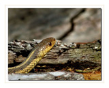 Slither by gerryp, Photography->Reptiles/amphibians gallery