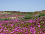 Ice Plant by reese, photography->flowers gallery