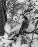 Young Robin in B/W by Pistos, contests->b/w challenge gallery