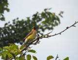Cedar Waxwing by jkender, Photography->Birds gallery