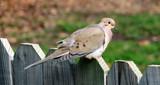 Zenaida macroura by Hottrockin, Photography->Birds gallery