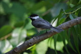 Carolina Chickadee by fivepatch, photography->birds gallery