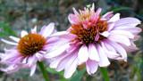 Peek-a-boo by sketchermandee, Photography->Flowers gallery