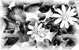 B & W Buttercup by LynEve, contests->b/w challenge gallery