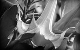 Golden Brugmansia in B&W by Pixleslie, Photography->Flowers gallery