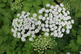 Umbellifer flowers by krt, photography->flowers gallery