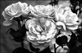 Full Bloom by LynEve, photography->manipulation gallery