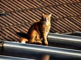 Cat on a Tin Roof by JaiJoli, photography->pets gallery