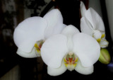 Friday Foofy Orchid by braces, photography->flowers gallery