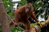 Orangutan by Ramad, photography->animals gallery