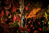 Autumn Woodpecker by Eubeen, photography->birds gallery