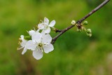 Plum blossoms and buds by elektronist, photography->flowers gallery
