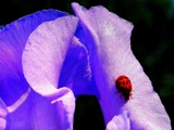 The  Iris   and  the  Lady  Bug by snapshooter87, Photography->Insects/Spiders gallery