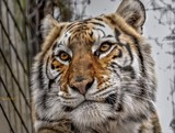 EFRC Tiger by tigger3, photography->animals gallery