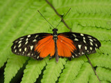 Orange by Paul_Gerritsen, Photography->Butterflies gallery