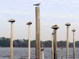 Keeping an eye on the Pelicans by Cosens, Photography->Birds gallery